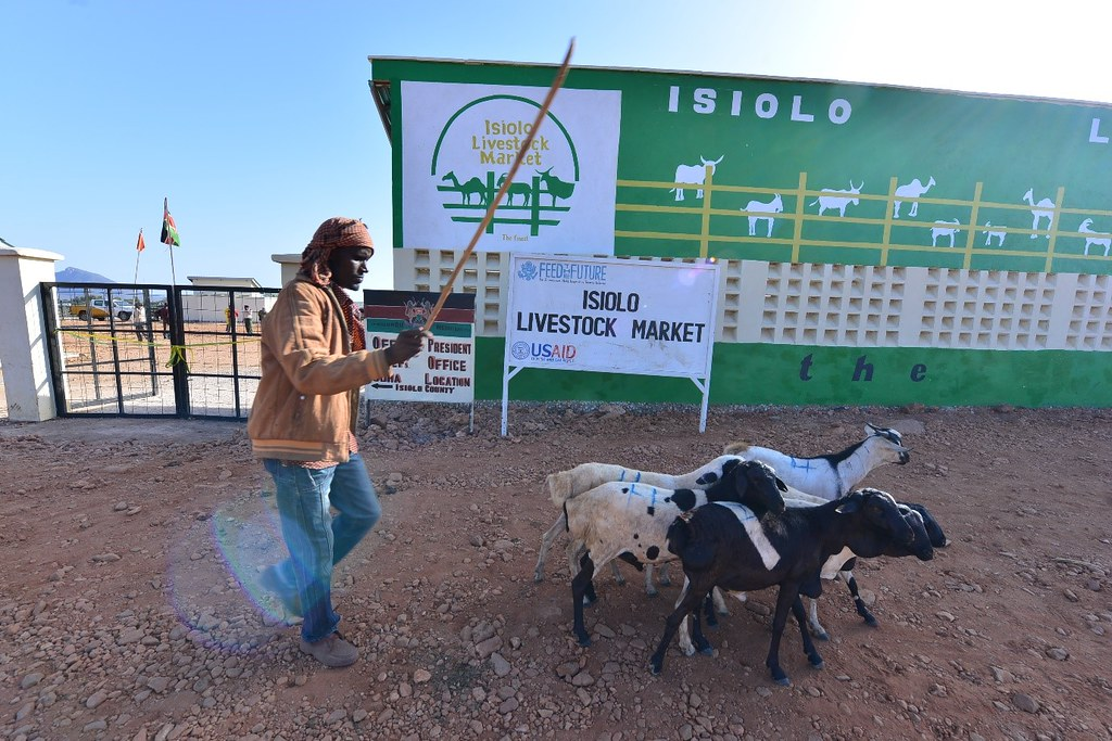 A Pastoralist From Isiolo County Takes Few Of His Goats And Sheep To Sell At