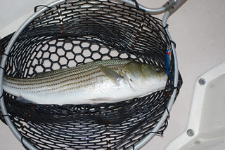 Striped Bass in the net