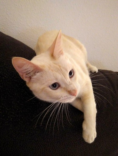 Brisa, gata Siamesa Red Point dulce y tímida esterilizada nacida en Abril´15, en adopción. Valencia. ADOPTADA. 35924513483_e43987ae99_z