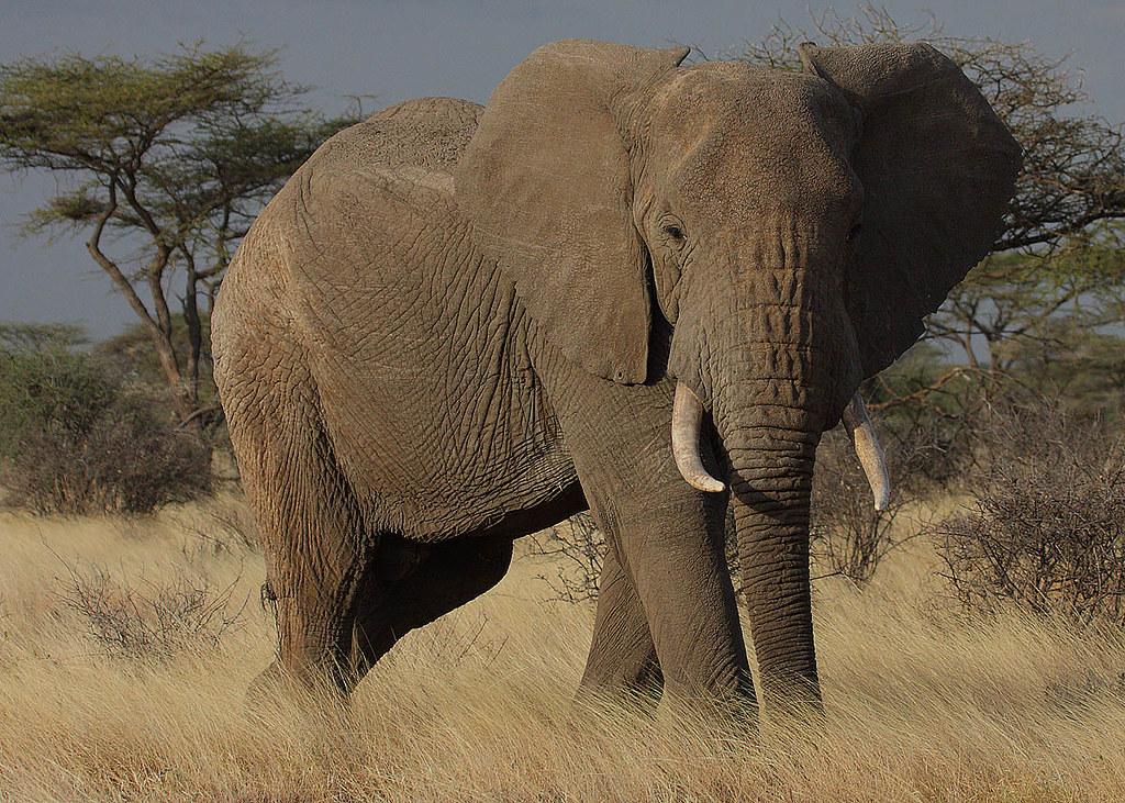 非洲草原象。圖片來源:維基百科。攝影:Steve Garvie(CC BY-SA 2.0)。