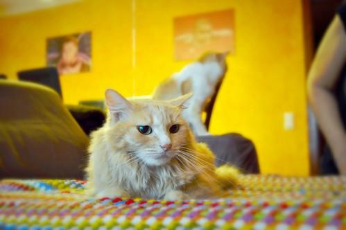 Blondie, gata Angora vainilla tímida y dulce esterilizada, nacida en Abril´13, en adopción. Valencia. ADOPTADA. 37277756565_e10d7f479a