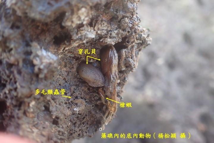 藻礁內的底內動物(楊松穎攝)