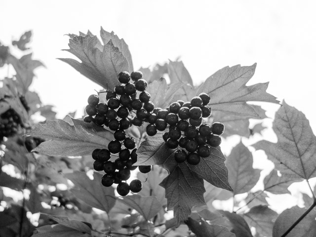 berries in black and white