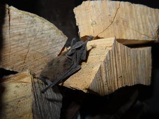 Murciélago muerto