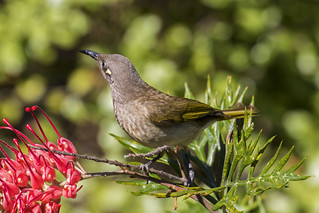 Brown Honeyeater (2) | by bidkev1 and son (see profile)