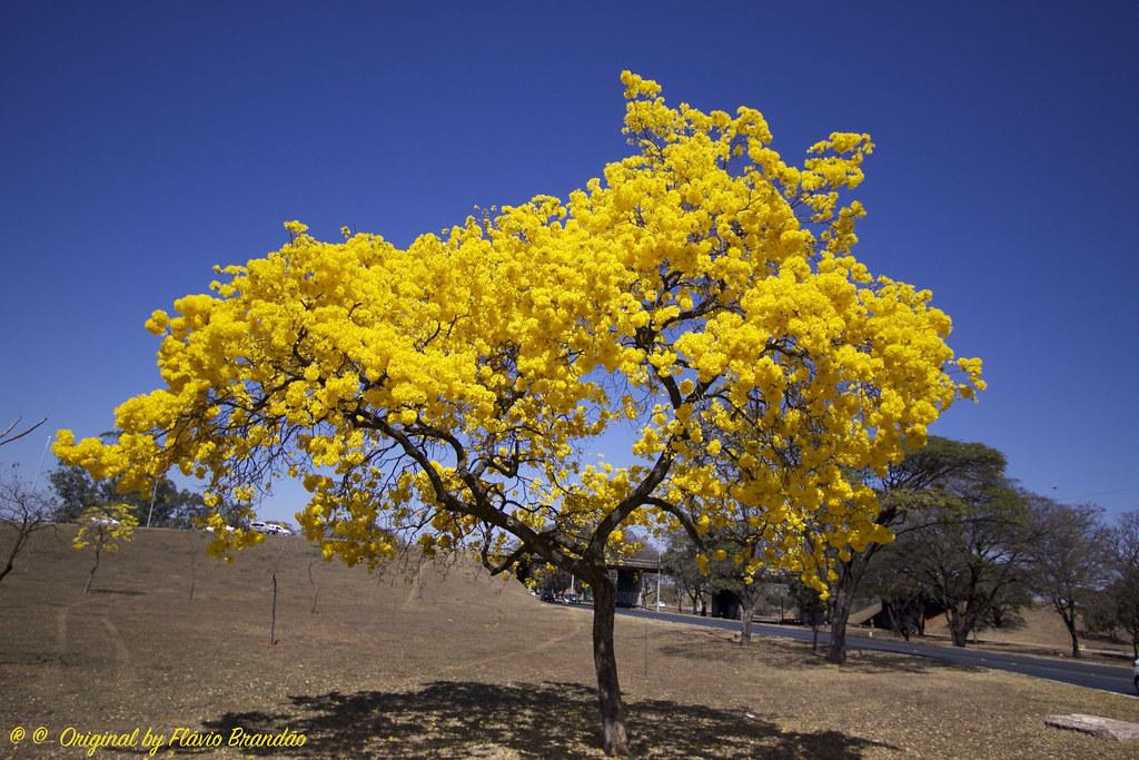 Image result for ipe amarelo brasil