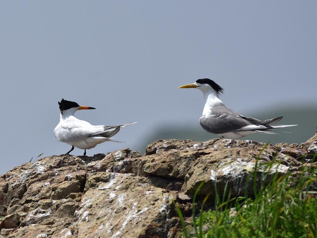 黑嘴端鳳頭燕鷗體色較大鳳頭燕鷗淡,體型略小,且嘴先有黑色斑點。圖片來源:洪崇航。