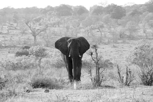 Elephant in the savannah | by www.holgersbilderwelt.de