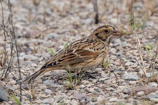 Lapland Longspur | by Laura Erickson