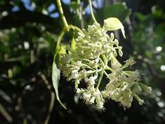 自然谷之星 小花蔓澤蘭