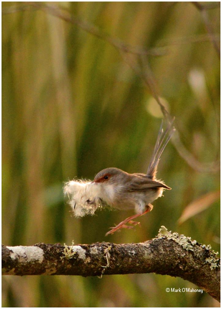 female superb fairywren malurus cyaneus dsc 4202psebwc 1 flickr