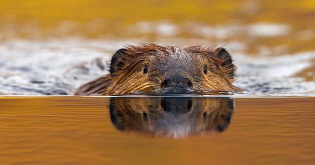 bionic-beaver