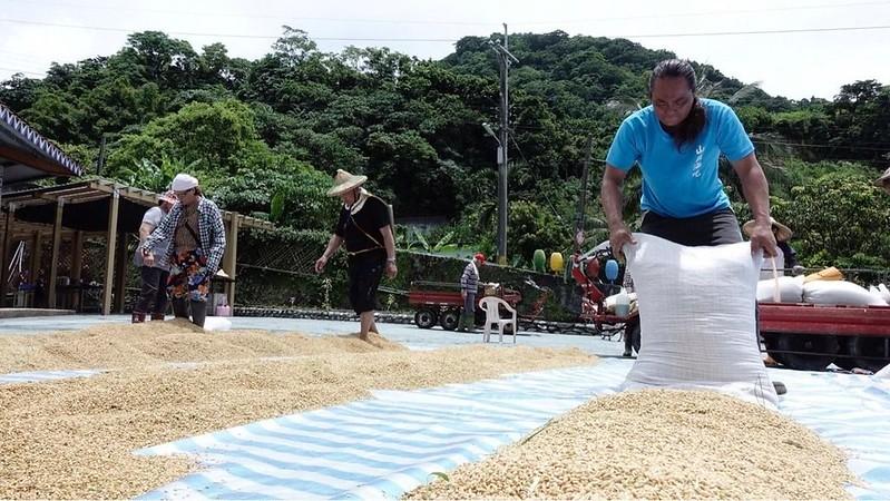 稻穀收割後,送到滾筒機內將稻穗打下後,再經過曬穀過程,圖片來源:林管處提供。