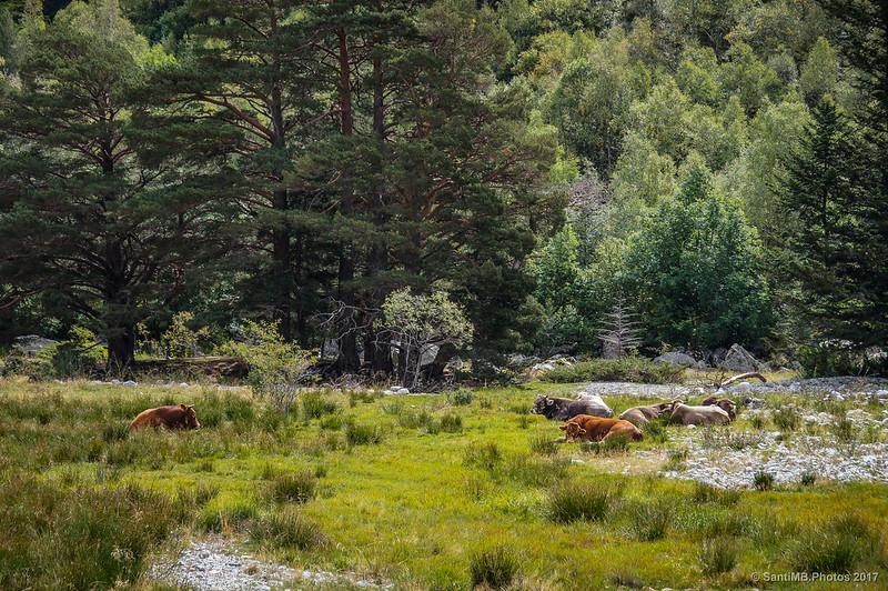 Vacas descansando en el Estany de Llebreta