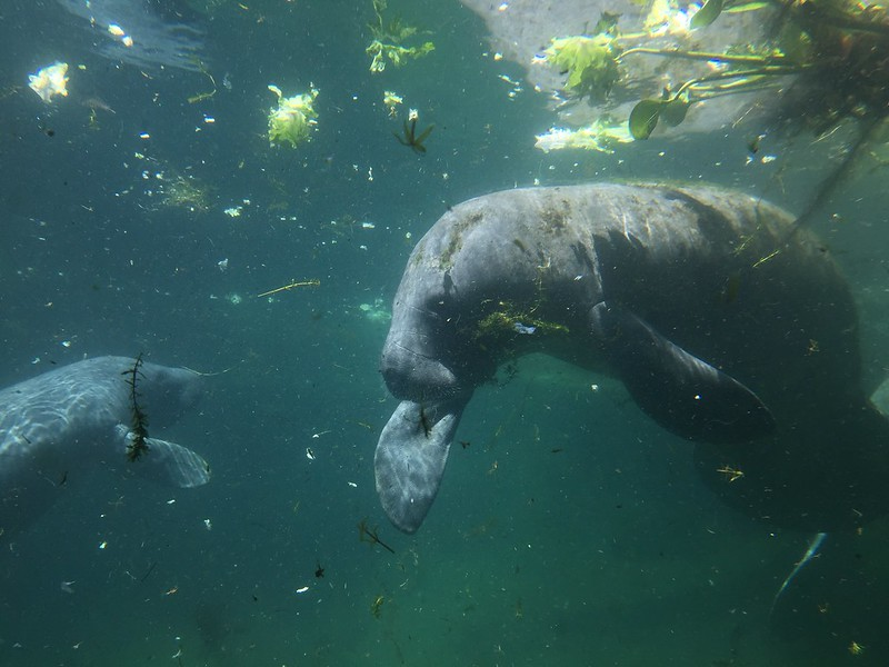 Tampa Lowry Park Zoo: Rescued Manatee