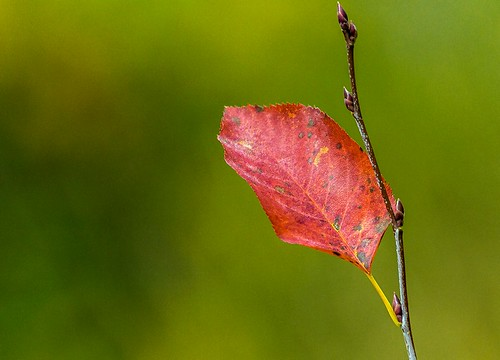 Red Leaf | by Karen_Chappell
