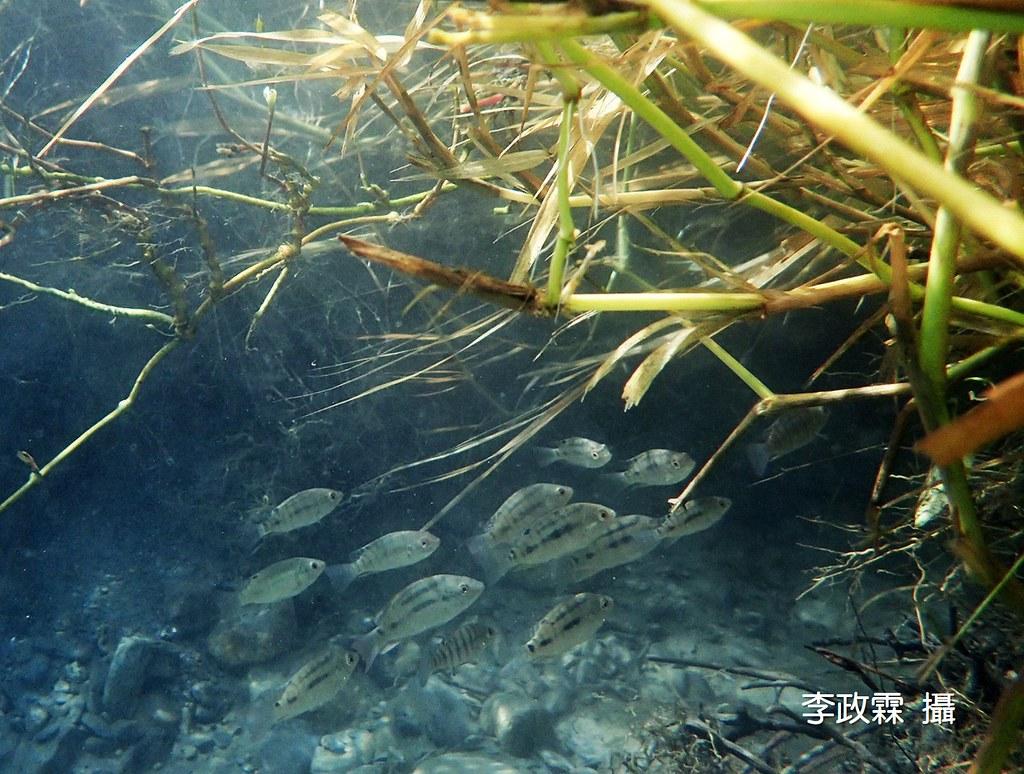 2_難得清澈的下游水中,就連吳郭魚也顯得清新美麗。(攝影:李政霖)