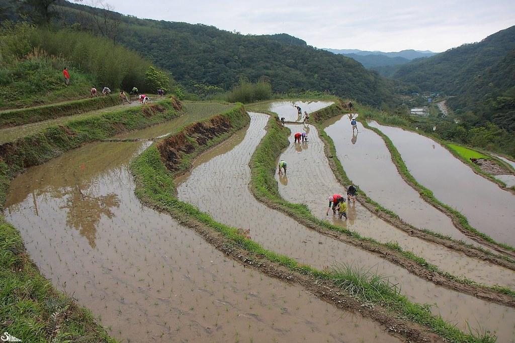 貢寮和禾米的水梯田。圖片來源:林哲安