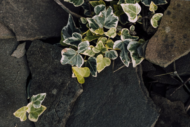 ivy poking out of stones
