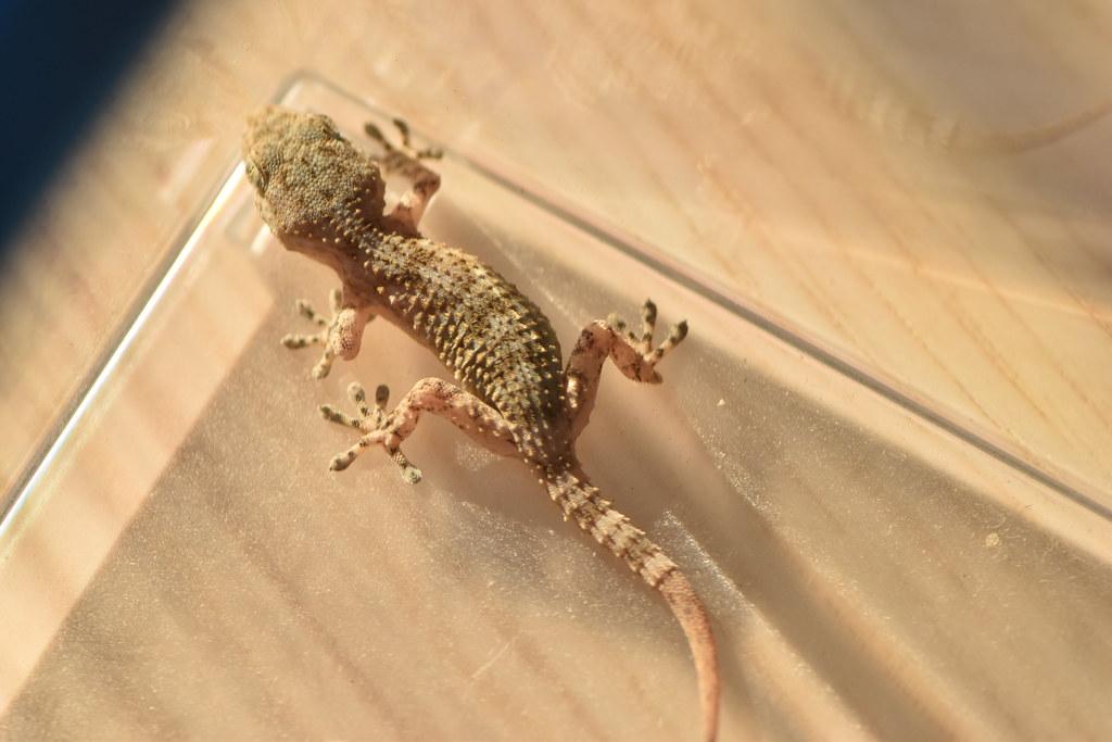 """Résultat de recherche d'images pour """"Moorish Wall Gecko"""""""