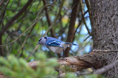 Blue Jay | by Neal D