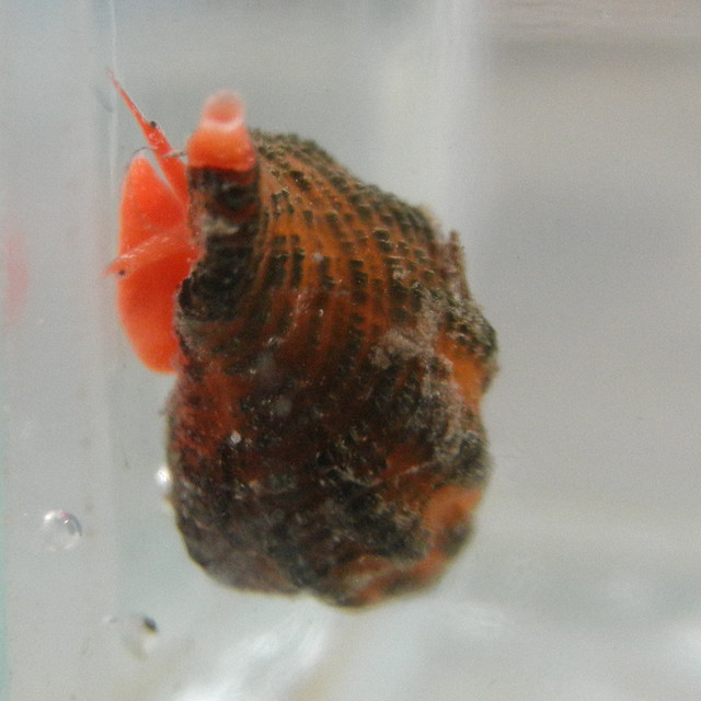 Frontal view of Ocinebrina aciculata