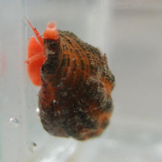 Frontal view of Ocinebrina aciculata