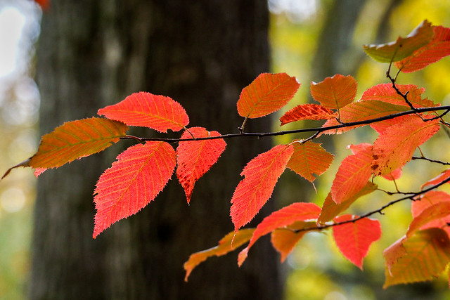 Autumn Leaves, Fall Leaves, Fall Foliage, Autumn Foliage, Red, Leaves, Leaf