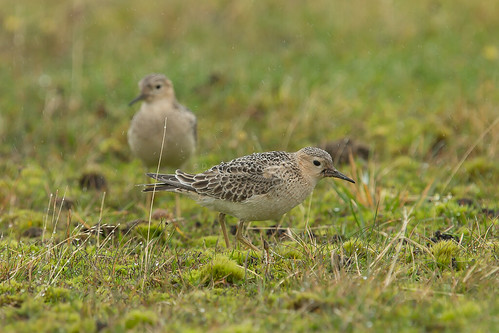 Buff-breasted Sandpiper (Calidris subruficollis). Davidstow Airfield, Cornwall. September 2017 | by DaveMorgan1975