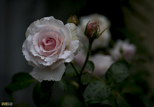 rose berlin 02 | by Eva Blue