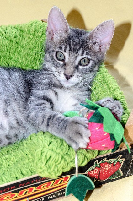 Benny, gatito Azul Ruso Tabby muy guapo y bueno, nacido en Julio´17, en adopción. Valencia. ADOPTADO. 37383553745_ecaa93de5e_z