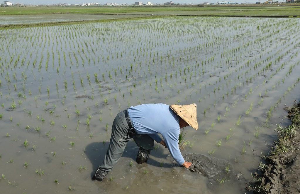 新南農民插秧時。圖片來源:林哲安
