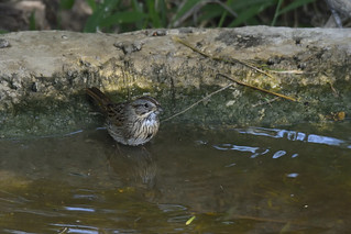 Lincoln's Sparrow | by AndrewJLyall