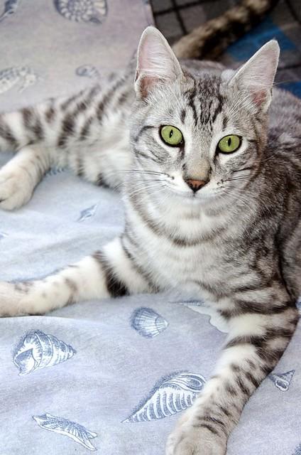 Anubis, bellezón de gato cruce con Mau Egipcio muy activo, nacido en Mayo´17, en adopción. Valencia. ADOPTADO. 38092649771_77245b5f80_z