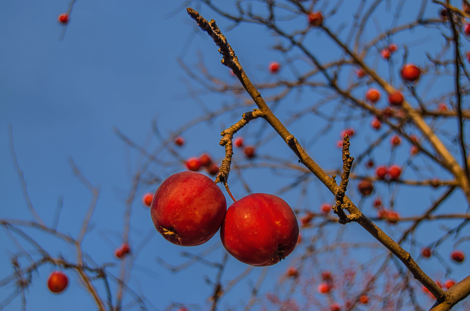 дикие яблоки в морозное утро - фуд фотограф Челябинск