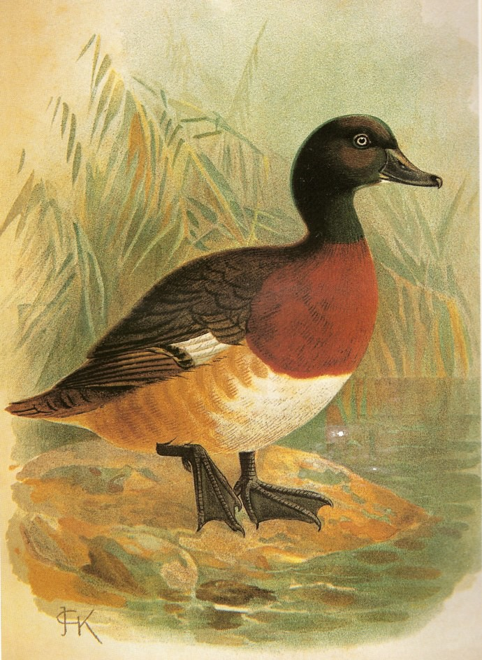 青頭潛鴨畫像。圖片來源:Journal of the Bombay Natural History, Vol XII, No. 4, 1899. Painted by J.G. Keulemans.