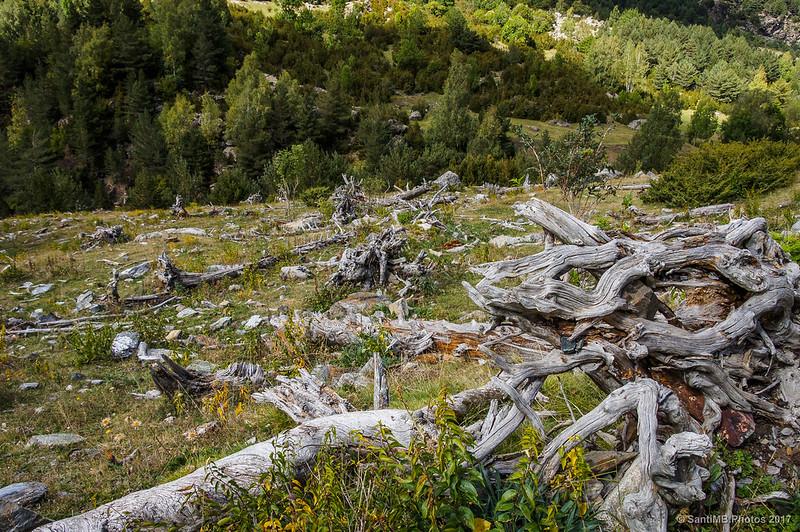 Árboles arrancados por las avalanchas de nieve en la Pleta del Pago