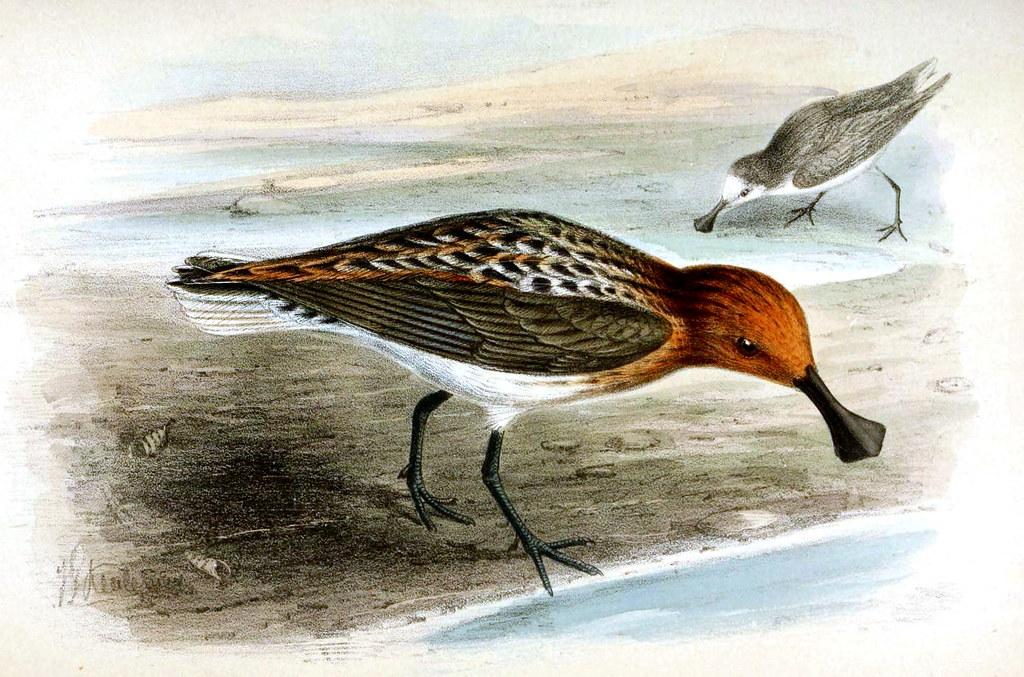 琵嘴鷸繁殖羽手繪圖。圖片來源:約翰·傑勒德·柯爾曼斯(公有領域)。