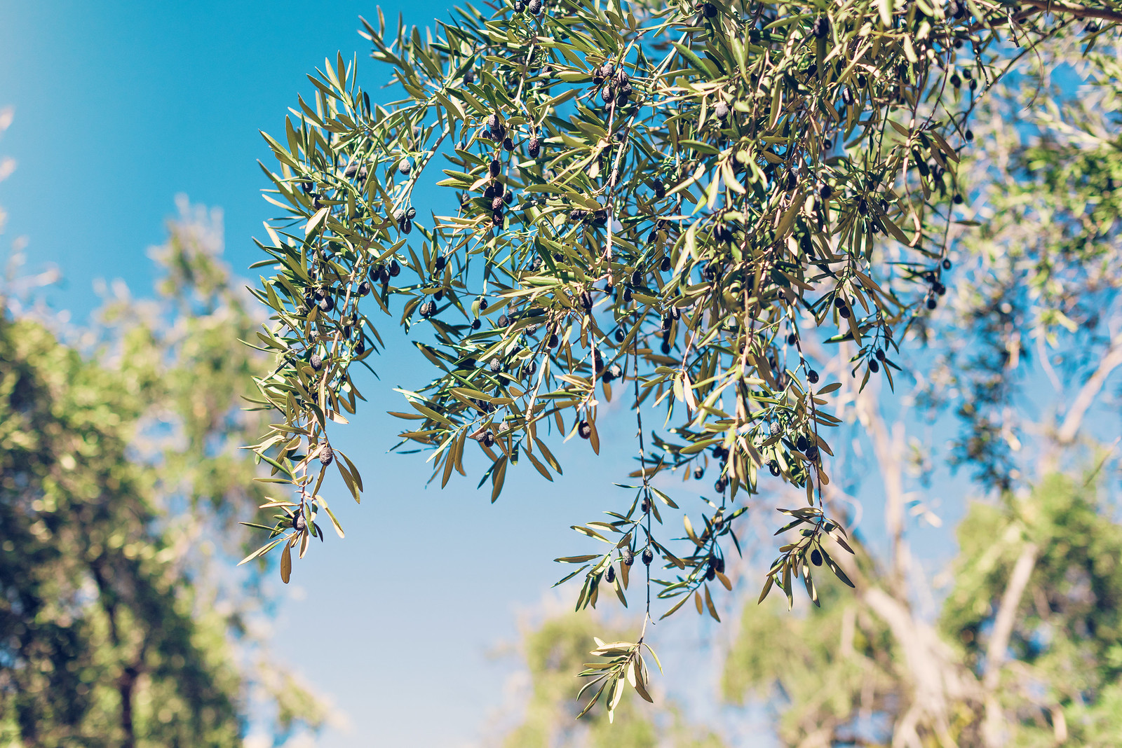 olive groves highland springs ca