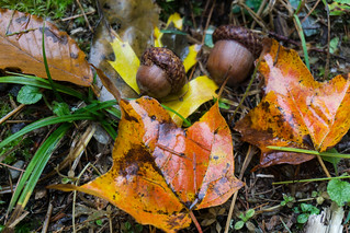 Acorns | by Chester Bullock