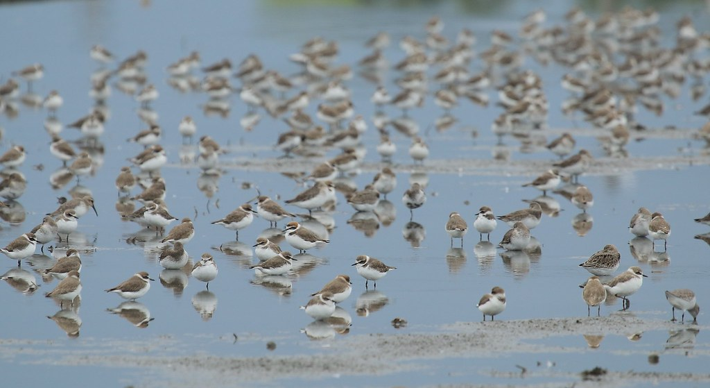 新南水鳥:喜歡淺泥地的東方環頸鴴。圖片來源:林哲安