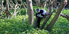 Variegated lemur