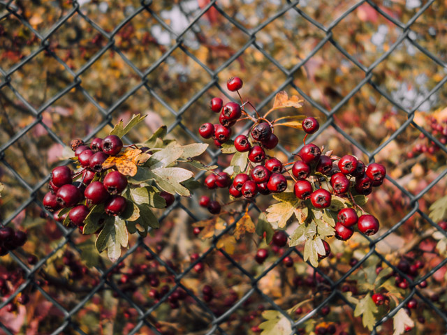 berries poking out of fence