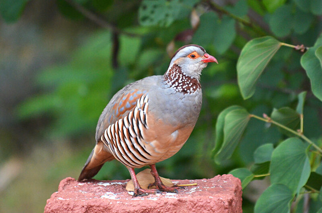 Barbary partridge, north Tenerife