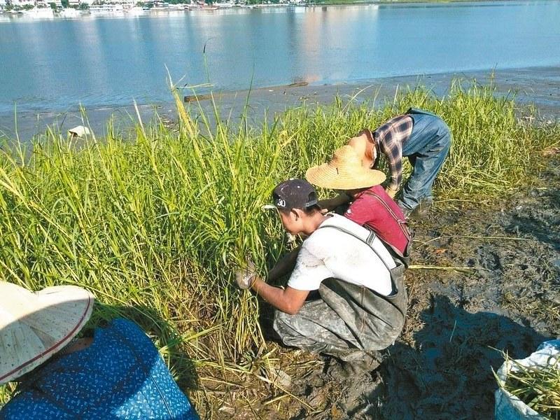 新北市八里及淡水區發現9處互花米草危害點,新北市農業局加強人工挖除,圖片來源:新北市農業局。