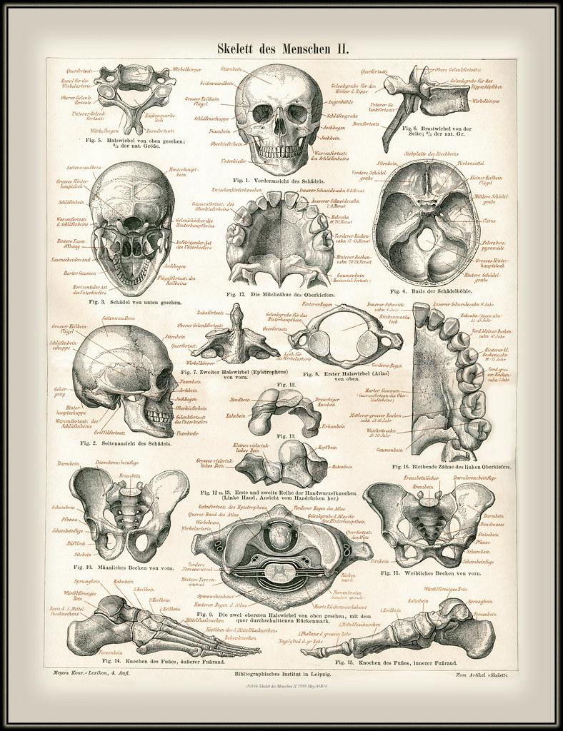 s1014b Skelett des Menschen II 5999 MeyA4B14 | s1014b Skelet… | Flickr