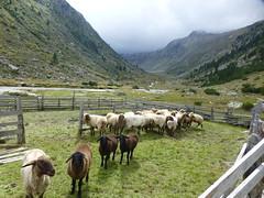 Schafe im Windbachtal