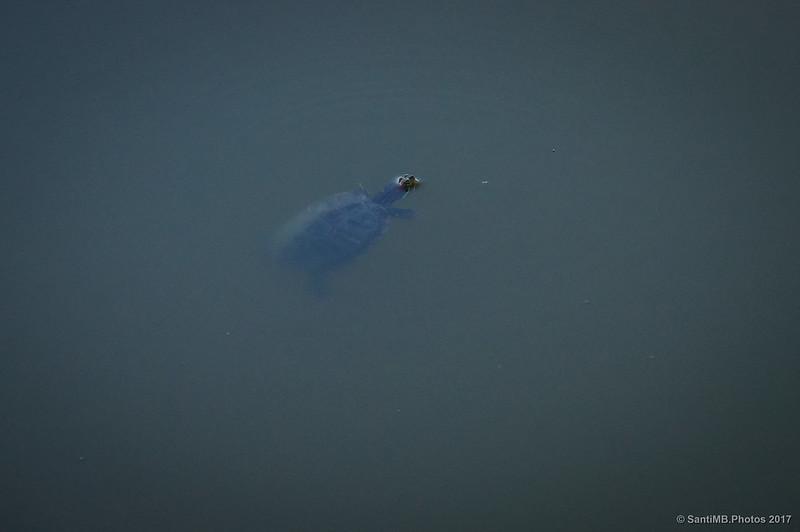 Una tortuga en el Canal de la Bunyola