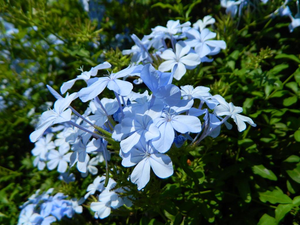 Lightblueflowers some light blue flowers in mlaga spain lightblueflowers by rubenholthuijsen izmirmasajfo