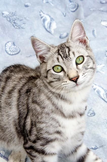 Anubis, bellezón de gato cruce con Mau Egipcio muy activo, nacido en Mayo´17, en adopción. Valencia. ADOPTADO. 37383409914_11326da3e9_z